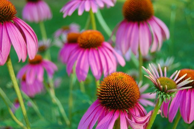 فواید گیاه شگفت انگیز سرخارگل یا اکیناسه