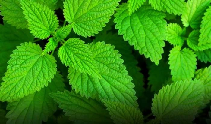 با گیاه گزنه و خواص درمانی آن آشنا شوید